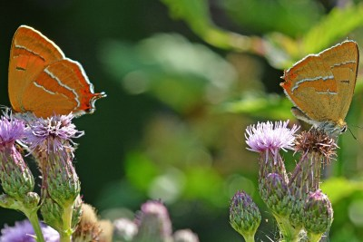 Two butterflies on thistle flowers. One has much brighter orange underwings than the other.