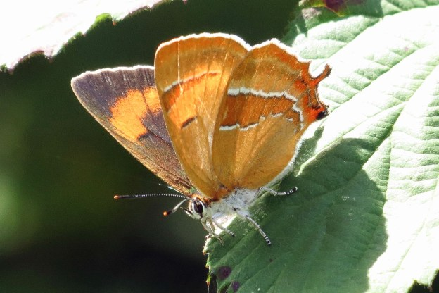 Butterfly on a leaf showing orange underside with darker, white-edged, streak and some of the brown and orange upperwing
