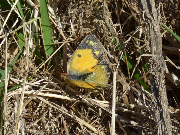 view of a female Clouded Yellow in mating refusal position