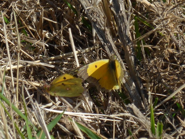 view of a male and female Clouded Yellow trying unsuccessfully to mate