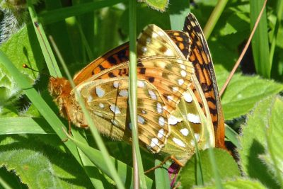 Two orangey butterflies with white marks, in mating position