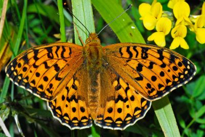 Orange butterfly with complicated series of black marks