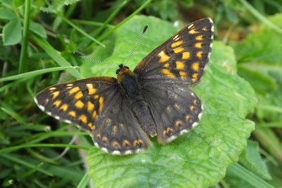 Dark brown butterfly with some pale orange markings
