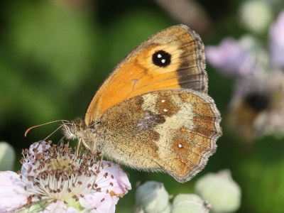 Side view of a butterfly with more orange upperwing with black eyespot and hindwing with various shades of brown and grey and very small white dots