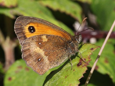 Side view of butterfly with mainly orange upperwing with eyespot, and hindwing in shades of brown and cream with very small white spots