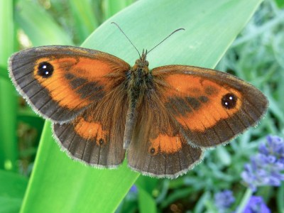 Butterfly with brown edges to its wings and orange centre areas, plus dark slashes and eyespots on the forewing.