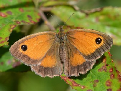 Open-winged butterfly with orange wings bordered in brown and eyspots with two white dots.