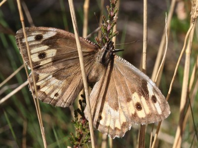 Brown butterfly with paler area towards wing edges and some spots