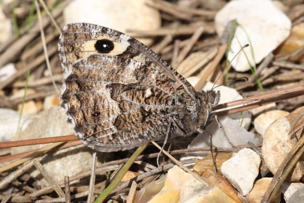 Brown butterfly seen from the side; hind upperwing in shades of brown with glimpse of eyespot on upperwing