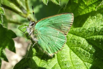 A green butterfly with a small line of white streaks on the underside of its hindwing