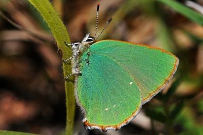 Side view of a green butterfly with a narrow brown border and small white fringe