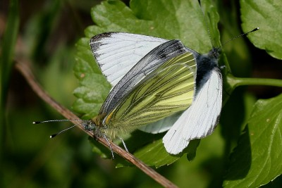One butterfly with white wings open. The other butterfly is at right angles with underwing showing, which is yellowish with grey veins