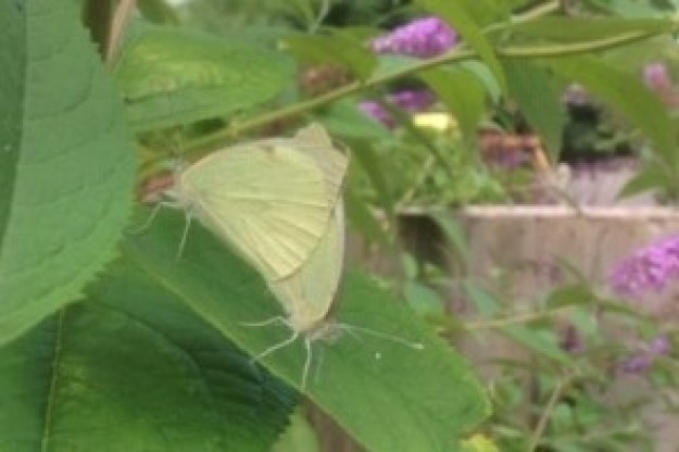 Small Whites mating