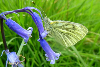 Yellowy white butterfly, with closed wings showing definite veining, on a bluebell