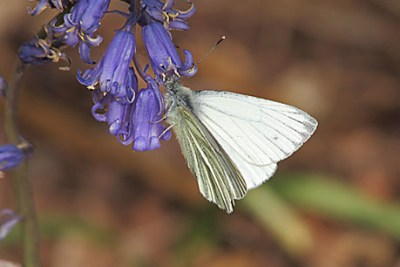 White butterfly with faint black veins and markings on a faded bluebell