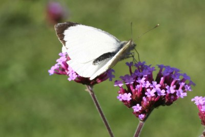 Pure white butterfly with black wingtip, on a purple flower