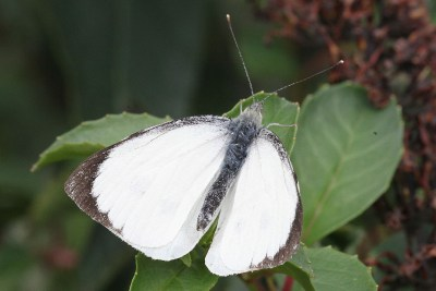 White butterfly with balck tips to the wings
