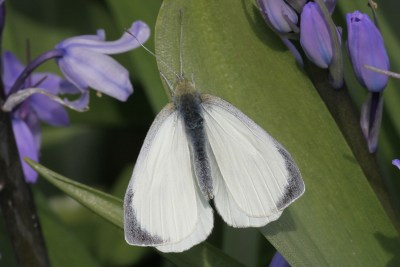 White butterfly with grey wing tips