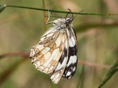 Butterfly hanging down from a grass stalk, with mainly white and brown wing marks