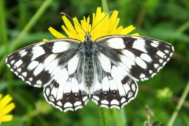 Butterfly with striking white and black markings