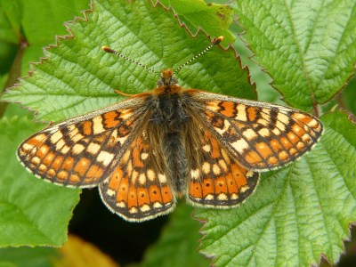 Orange butterfly iwth crescents of yhellow marks surrounded by brown, and brown edging