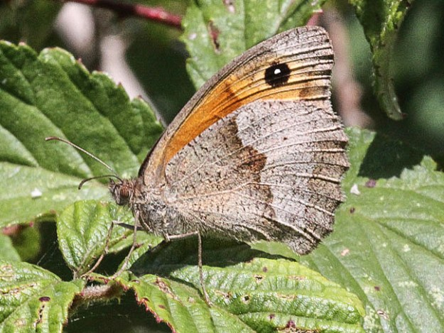 Side view of butterfly with two-tone brown hindwings and small glimpse of orange upperwing with eyespot