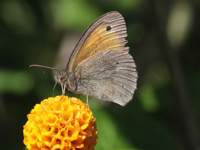 Side view of butterfly with brown hindwings and dull orange upperwing with brown edge and eyespot