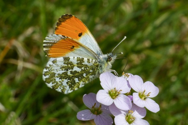 Butterfly iwth bright orange tips to its wings, and a mottled green pattern underneath