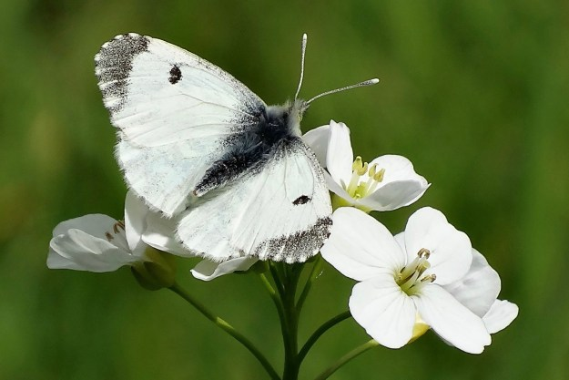 White butterfly with black wingtips and a black spot on the topside of each forewing