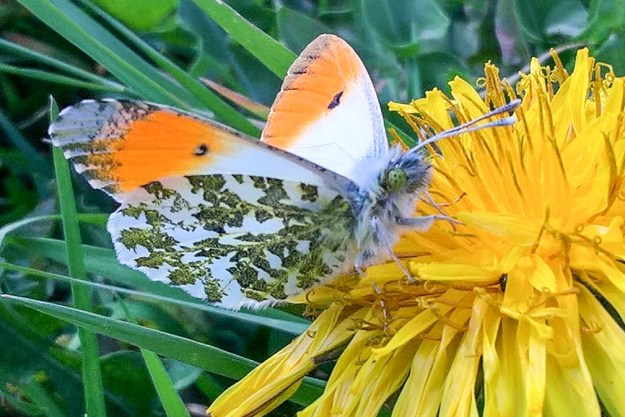 Butterfly with orange tips to its wings and green mottling underneath