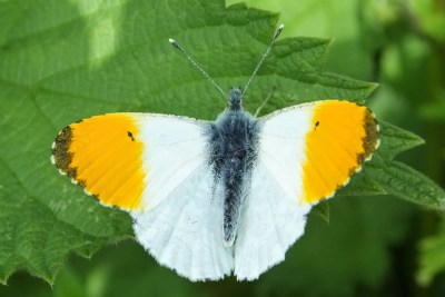 Butterfly with white wings with broad orange tips and a dark grey edge to the orange tips
