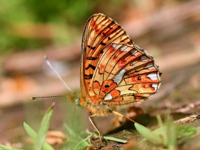 Side view of orange butterfly with two silver pearl-like marks and paler patches