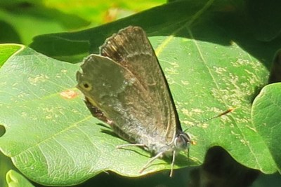 Side view of a pale brown butterfly with a faint white jagged line and pale spot near the tail