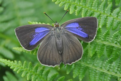 Dark butterfly with bright purple patches on its forewings