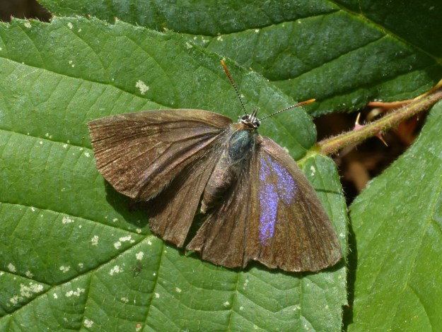 view of a Purple Haitstreak with wings open, resting on a leaf