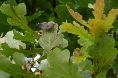 Distant view of a browny purple butterfly on the branch of an oak tree