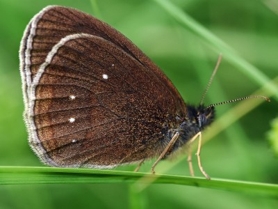 Side view of a dark brown butterfly with white fringe and a few white dots