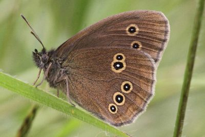 Side view of dark brown butterfly with spots formed of yellow rings filled iwth black, then a white spot in the centre.