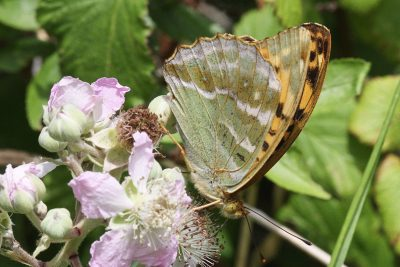 Side view of butterfly on a bramble, with its underwings looking almost pale green, with white streaks