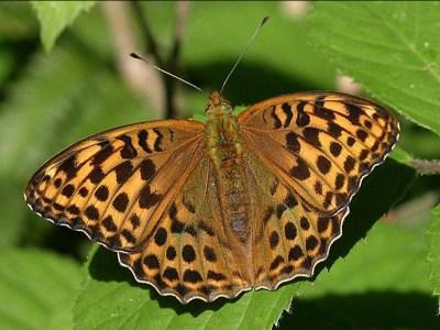 Orange butterfly with a lot of dark spots in a regular pattern