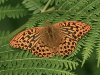 Large Orange butterfly with dark spots and lines on a fern leaf.