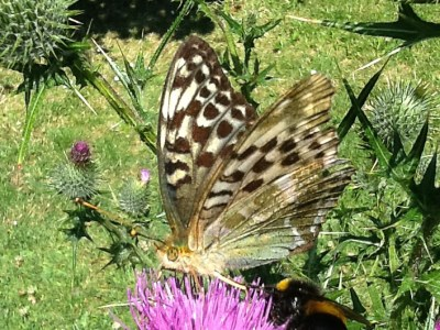 Pale butterfly with dark brown markings