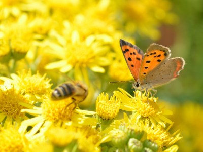 Small mainly orange butterfly on a yellow flower next to a bee.
