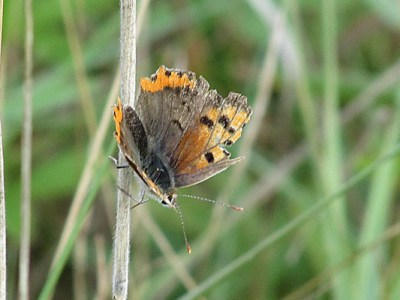 Very tatty butterfly with only about a third of its wing area remaining