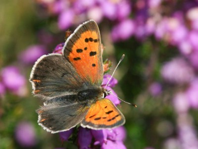 Butterfly with a stark contrast between its orange forewings and its plain brown hindwings.