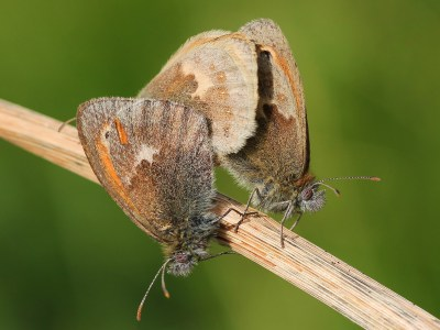 Side views of three butterflies on a brown stalk.
