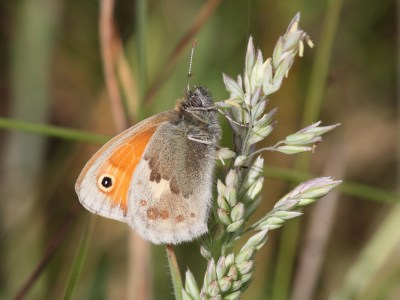 Side view of butterfly on a grass seed head, with hindwing in various shades of brown and forewing orange with a black eyespot