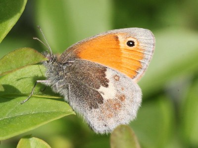 Side view of butterfly with hindwing in various shades of brown and forewing orange with a black eyespot
