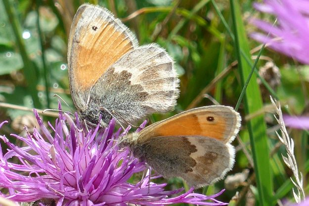 Two brown and orange butterflies on a purple flower