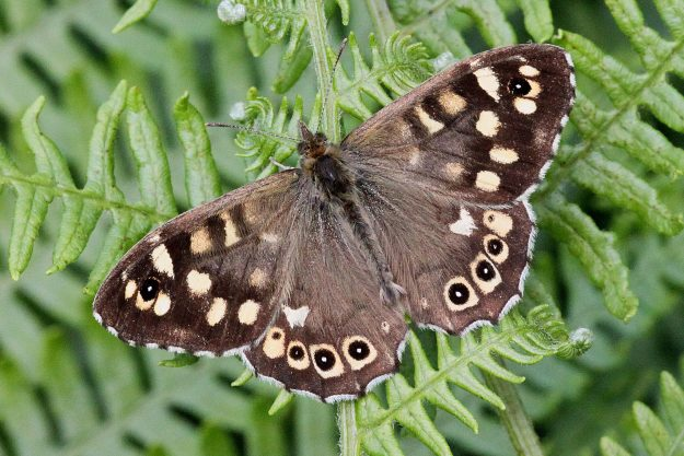 Dark brown butterfly with cream spots on a fern
